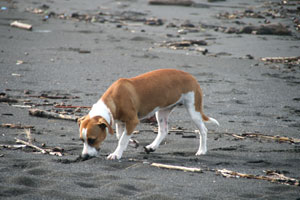 A surf dog exploring the beach.
