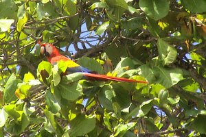 Scarlet macaws come to the beach in Esterillos Oeste.