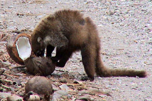 A white-nosed coati enjoys a coconut. In Costa Rica they are called pizotes