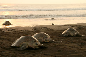 Olive Ridley Turtles at Playa Ostional.