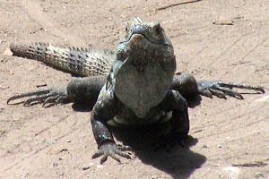 A big iguana on the dirt road in Samara.