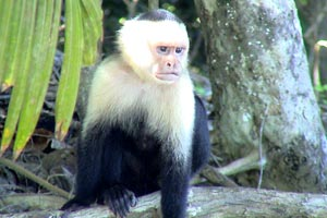 A white-headed capuchin monkey at Playa Santa Teresa.