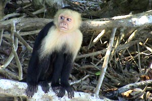 There are many monkeys in this area of Costa Rica.