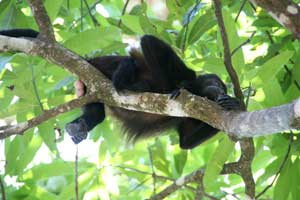 There are many monkeys in the trees close to the beach.